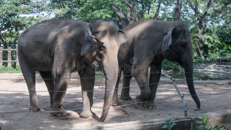 dois elefantes cor-de-rosa no jardim zoológico foto de stock royalty free