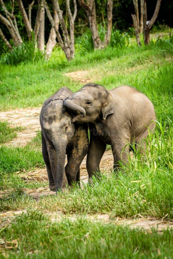 Dois elefantes do bebê que jogam no campo da pastagem. imagens de stock royalty free