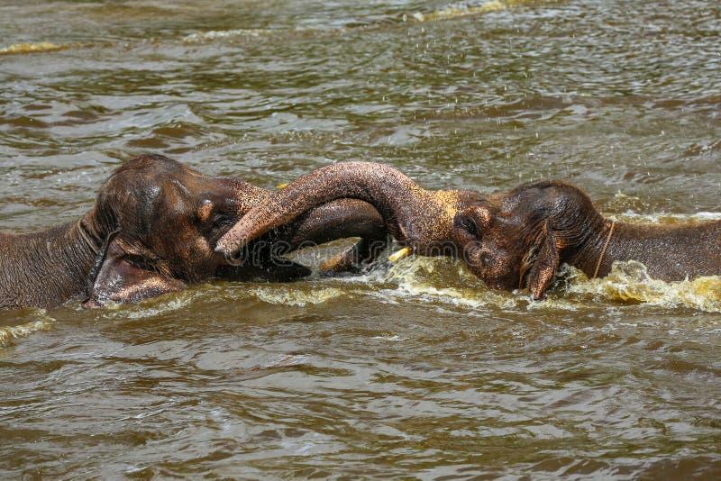 Dois elefantes do bebê que jogam um com o otro na água em um jardim zoológico fotografia de stock royalty free