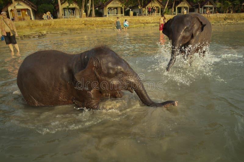 Dois elefantes indianos novos que banham-se na lagoa imagem de stock royalty free