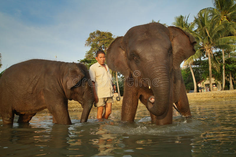 Dois elefantes indianos novos que banham-se na lagoa imagem de stock