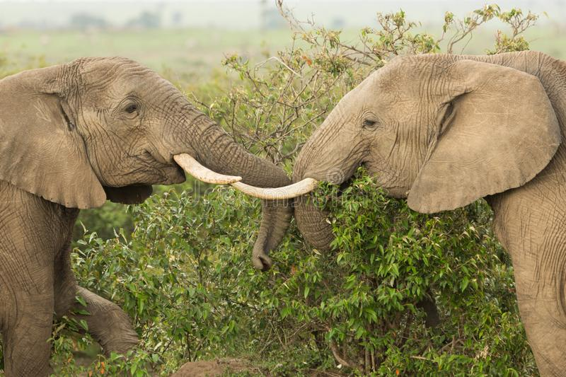 Dois elefantes novos que jogam em Kenya fotos de stock royalty free