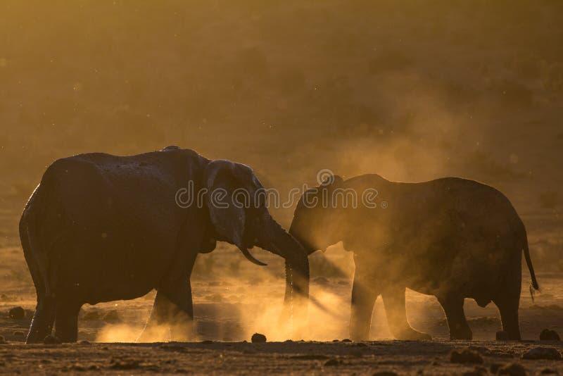 Dois elefantes que cumprimentam-se no arbusto africano empoeirado foto de stock royalty free