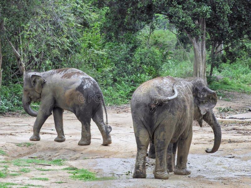 Dois elefantes selvagens em Sri Lanka fotografia de stock royalty free