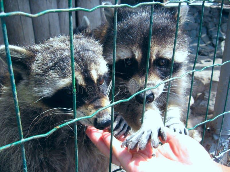 Dois enogi raccoon comem de mãos humanas fotografia de stock royalty free