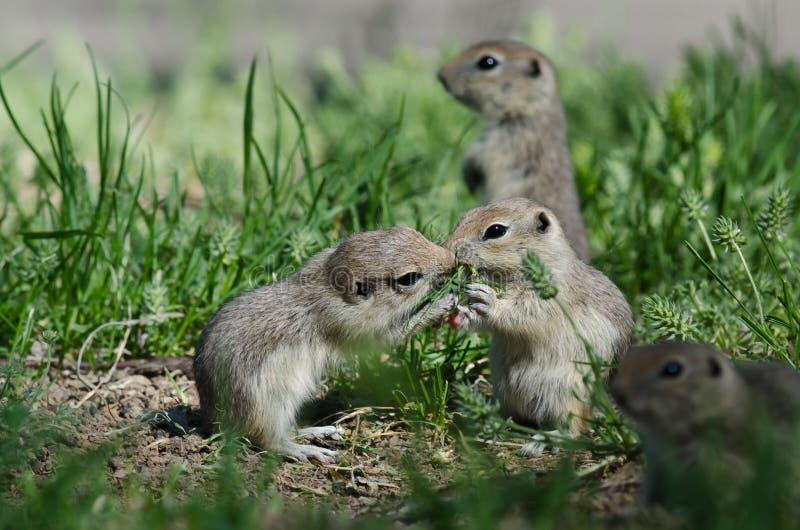 Dois esquilos à terra bonitos que compartilham de pouco beijo imagem de stock royalty free