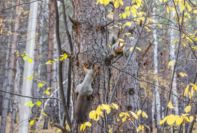 Dois esquilos na floresta imagem de stock