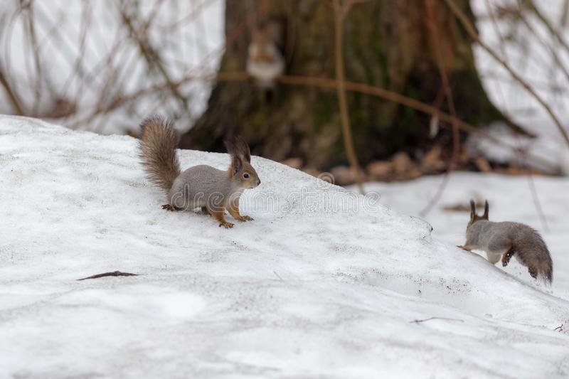Dois esquilos na mola imagens de stock royalty free