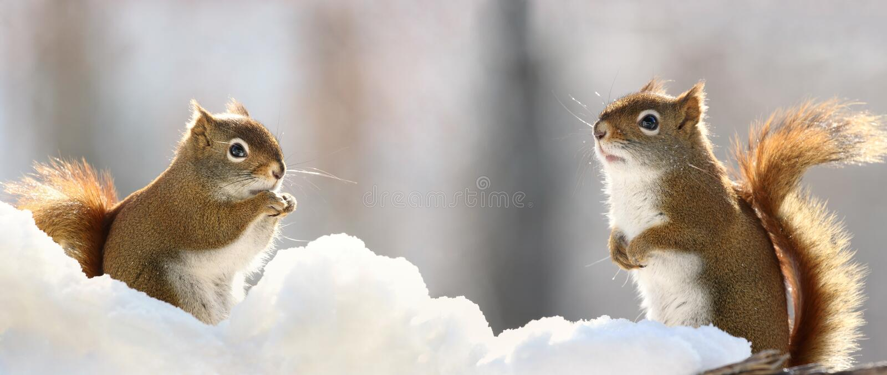Dois esquilos na neve fotos de stock