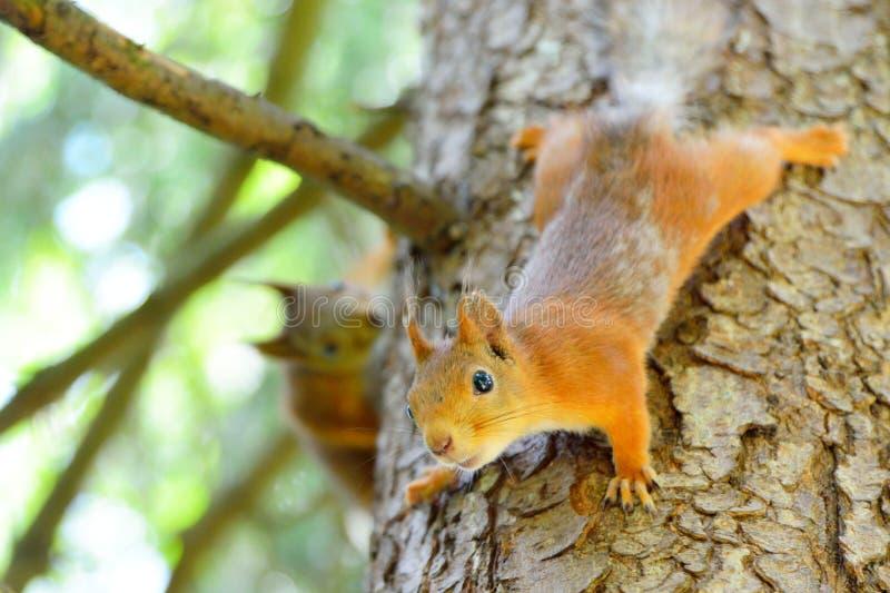 Dois esquilos que correm em uma árvore fotografia de stock