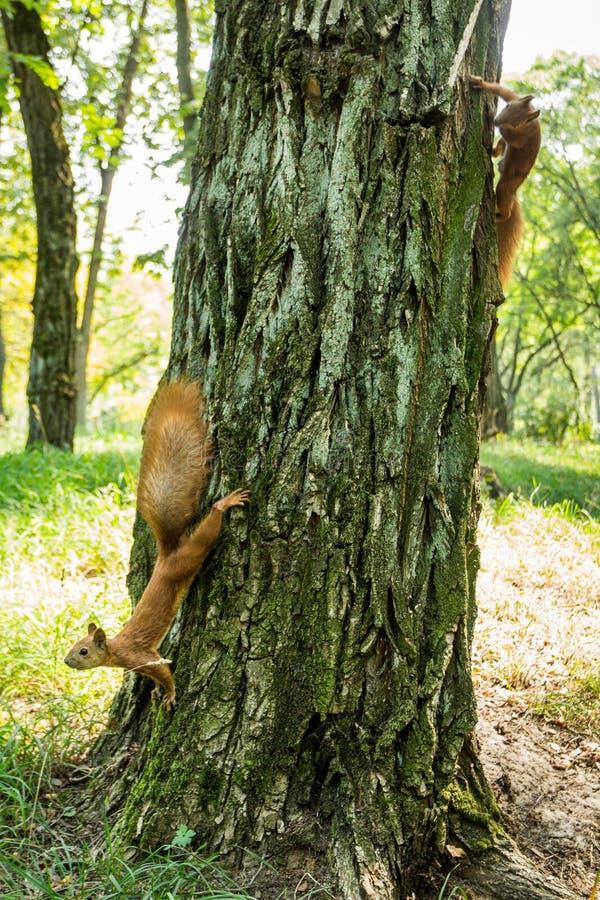 Dois esquilos vermelho-dirigidos selvagens em uma árvore em uma floresta foto de stock royalty free