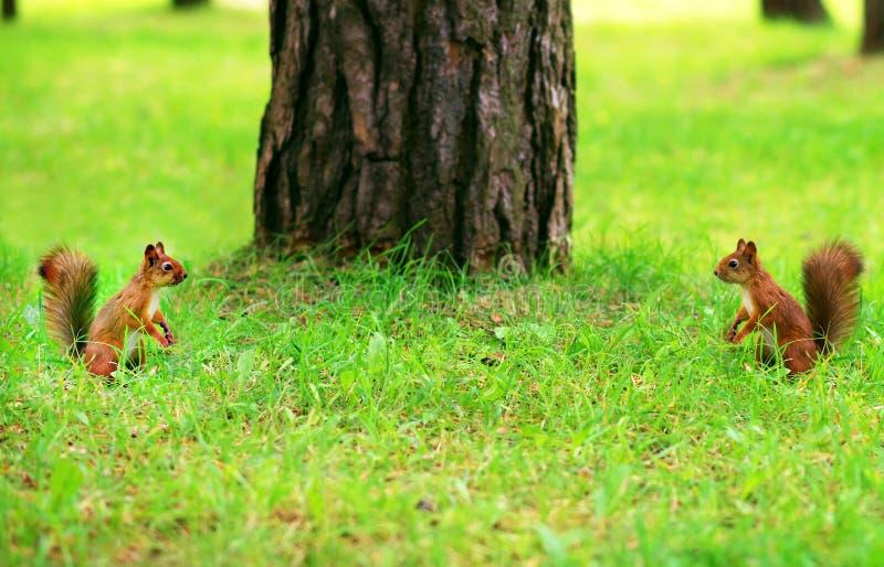 Dois esquilos vermelhos fotos de stock