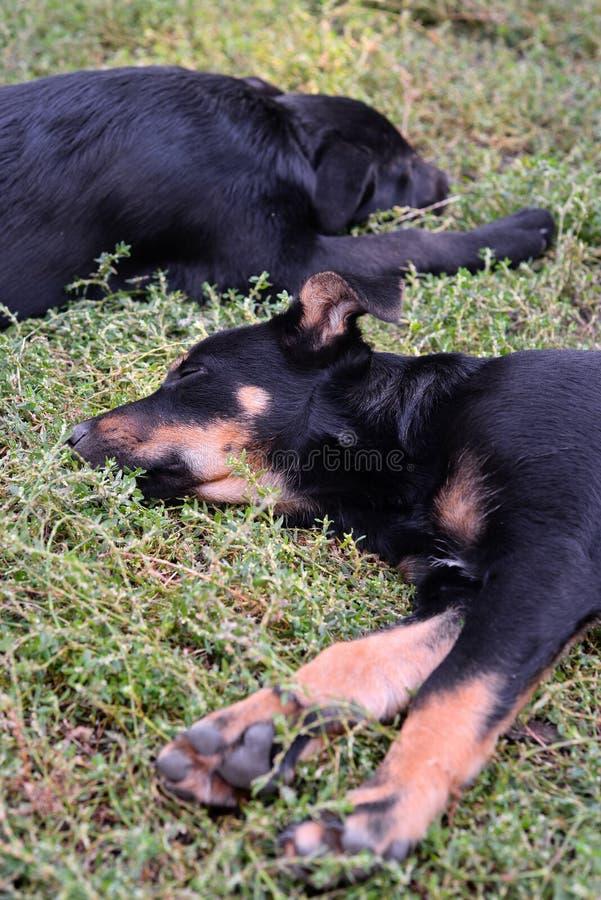 Dois filhotes de cachorro dispersos fotos de stock