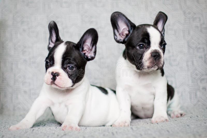 Dois filhotes de cachorro do buldogue francês - gêmeos imagem de stock royalty free