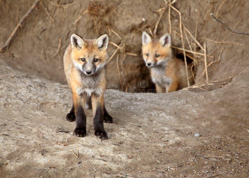 Dois filhotes de cachorro do Fox vermelho fotos de stock royalty free