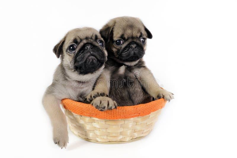 Dois filhotes de cachorro do pug na cesta. imagens de stock royalty free
