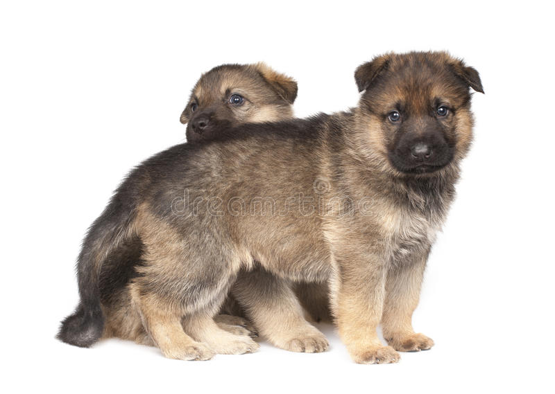 Dois filhotes de cachorro do ` s do sheepdog isolados sobre o fundo branco imagem de stock royalty free
