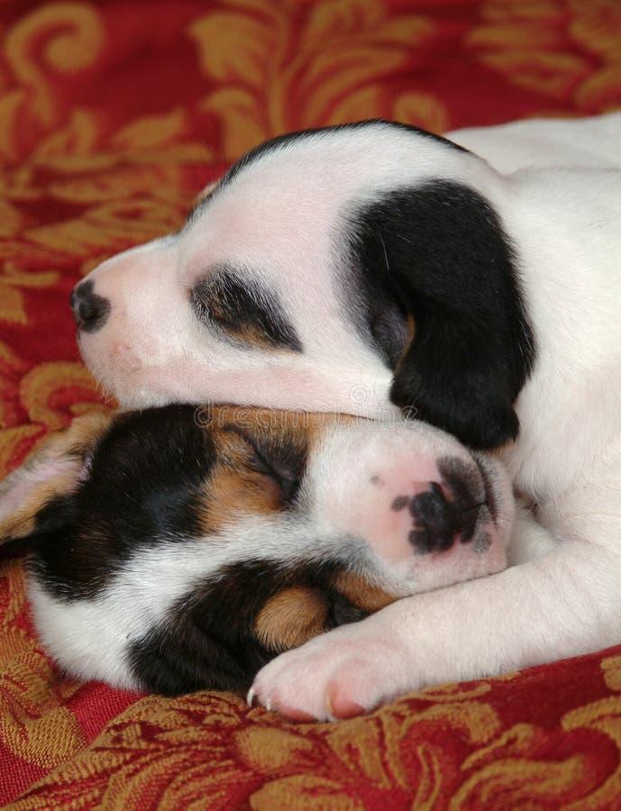 Dois filhotes de cachorro do sono fotos de stock royalty free