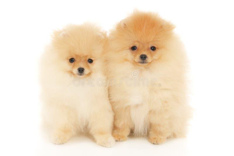Dois filhotes de cachorro do Spitz de Pomeranian foto de stock