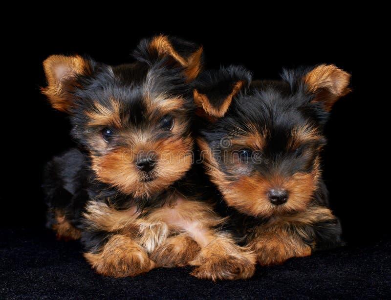 Dois filhotes de cachorro do terrier de Yorkshire no preto imagem de stock