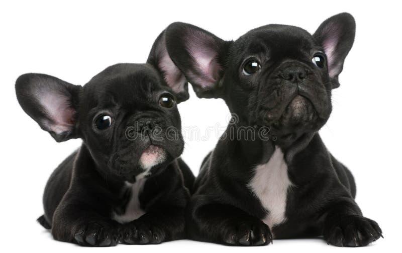 Dois filhotes de cachorro dos buldogues franceses, 8 semanas velhos fotos de stock royalty free