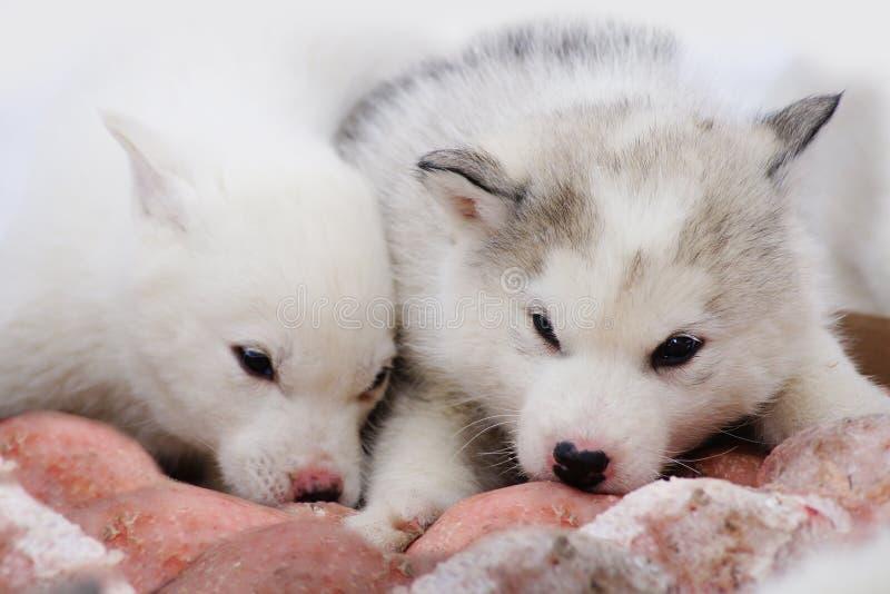 Dois Filhotes De Cachorro Dos Cães De Puxar Trenós Siberian Foto De Stock Grátis