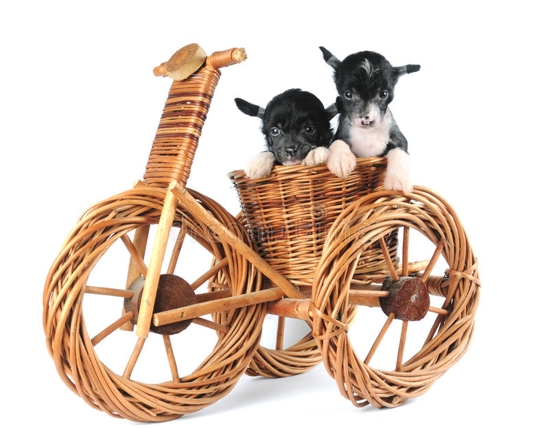 Dois filhotes de cachorro isolados no fundo branco fotos de stock royalty free