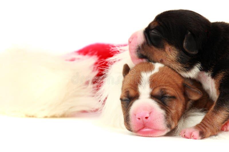 Dois filhotes de cachorro no tampão de Santa fotografia de stock royalty free