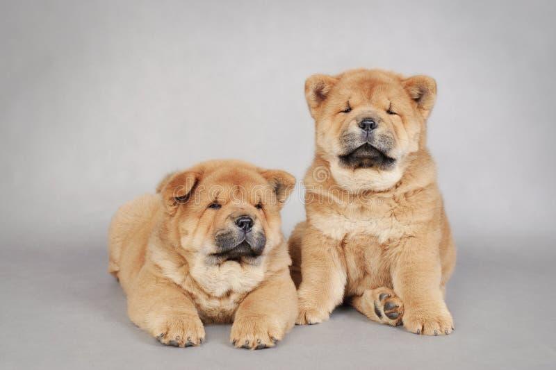 Dois filhotes de cachorro pequenos da comida da comida fotos de stock royalty free