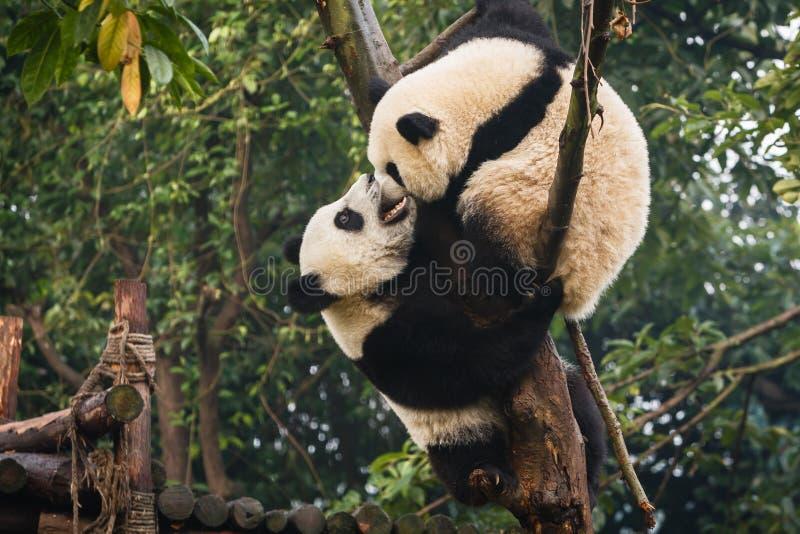Dois filhotes de urso da panda que jogam em Chengdu pesquisam China baixa fotografia de stock royalty free