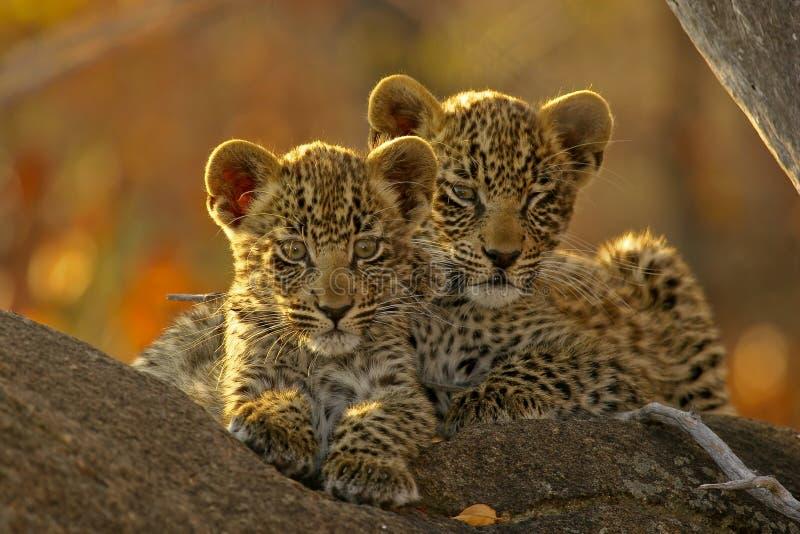 Dois filhotes do leopardo   imagem de stock