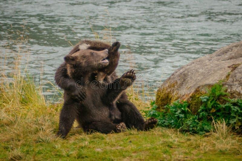 Dois filhotes pequenos do urso que lutam junto em Alaska imagens de stock royalty free