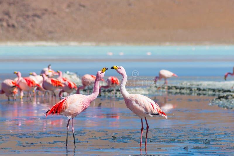 Dois flamingos cor-de-rosa em Laguna Colorada nos Andes bolivianos fotos de stock