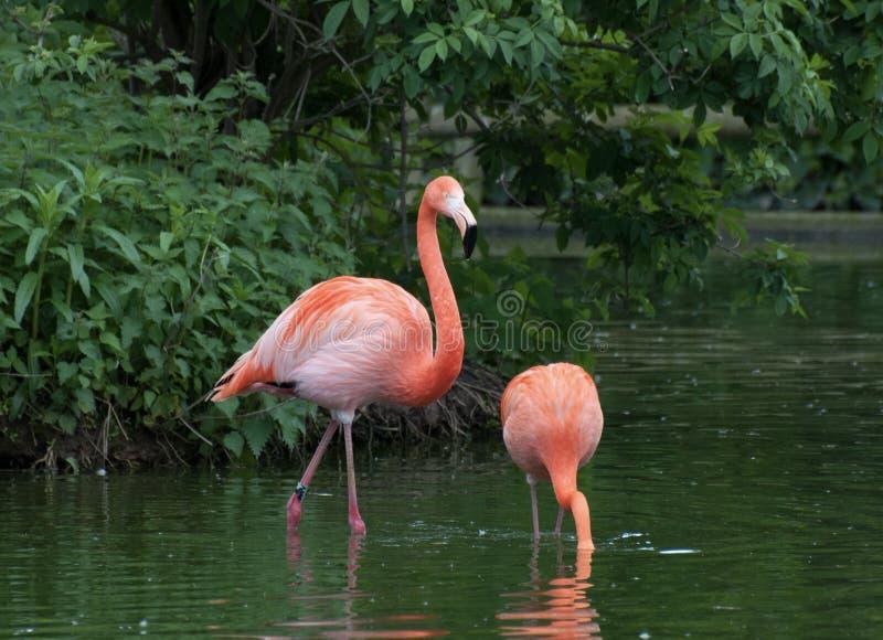 Dois flamingos cor-de-rosa que vadeiam em um lago foto de stock royalty free