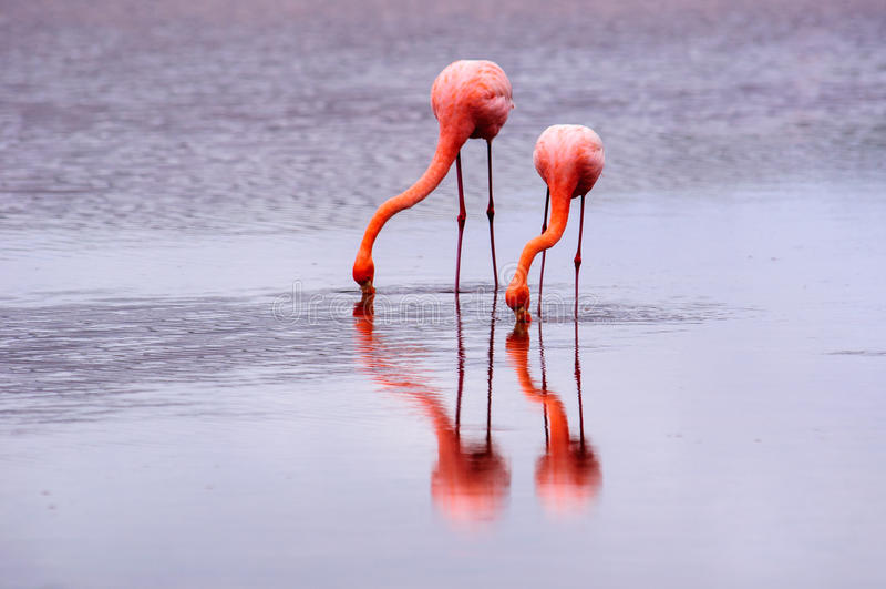 Dois flamingos e suas reflexões foto de stock