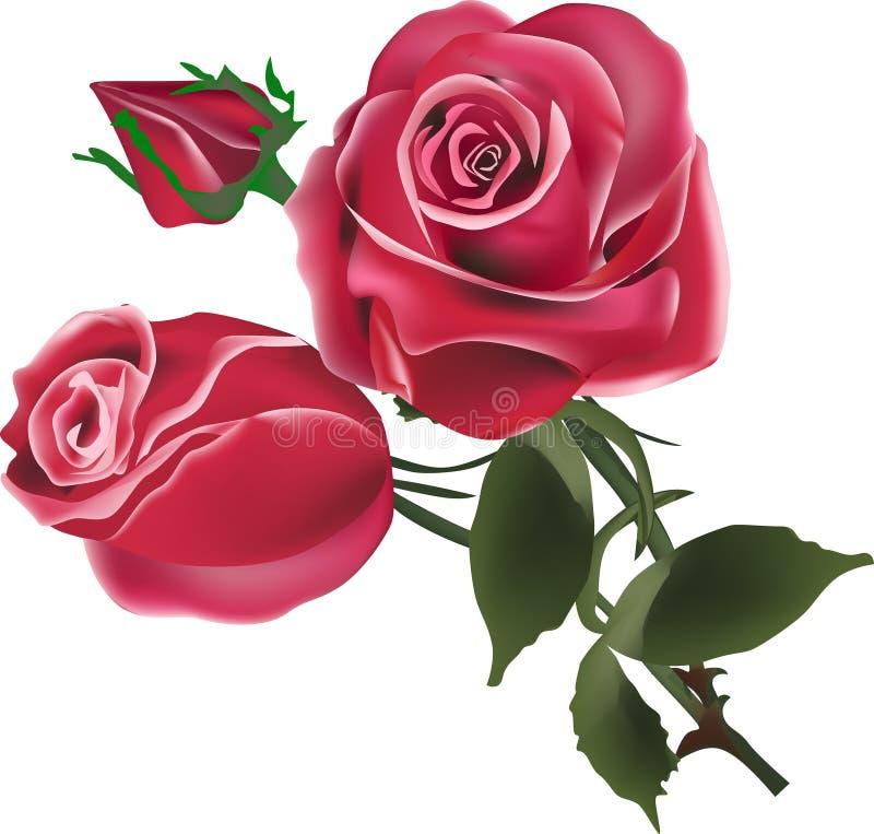 Dois flores e botões da rosa do vermelho no branco ilustração stock