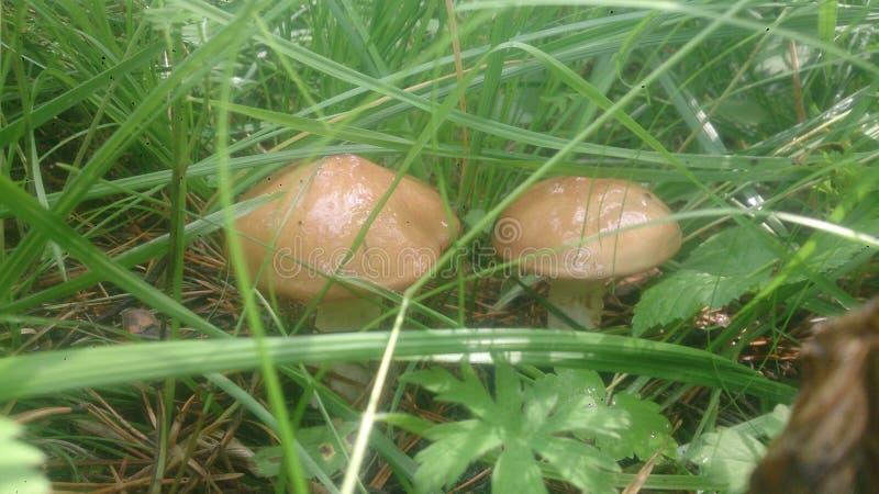 Dois fungos imagens de stock