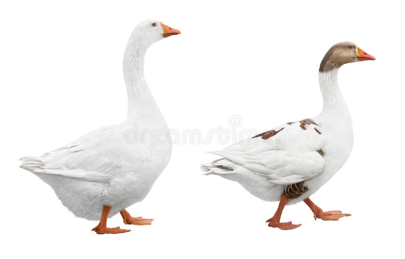 Dois gansos brancos imagens de stock royalty free