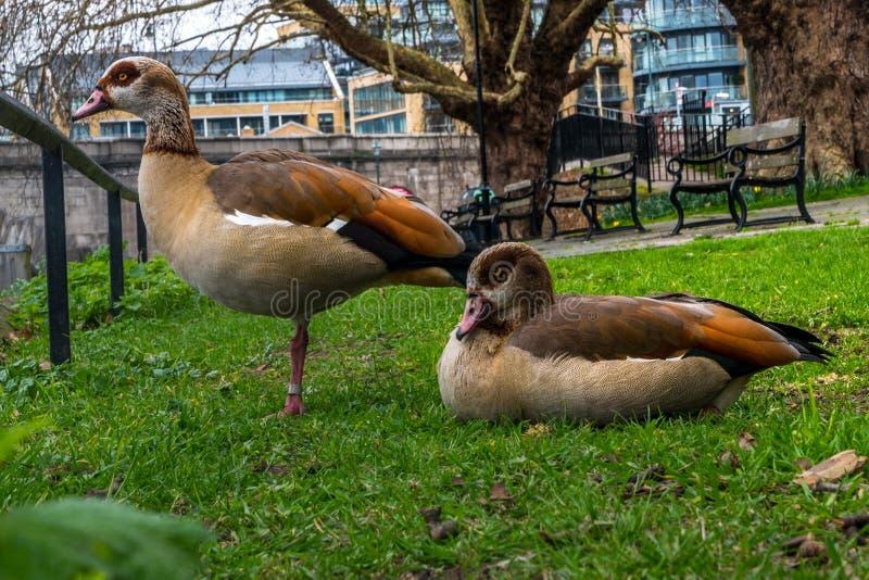 Dois gansos de pato bravo europeu em um jardim pequeno ao longo do rio Tamisa fotos de stock royalty free