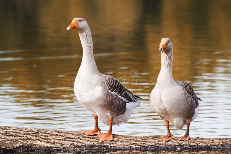 Dois gansos de pato bravo europeu estão na lagoa imagens de stock royalty free