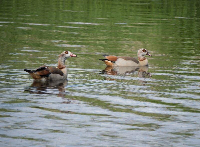 Dois gansos egípcios que nadam em um lago foto de stock