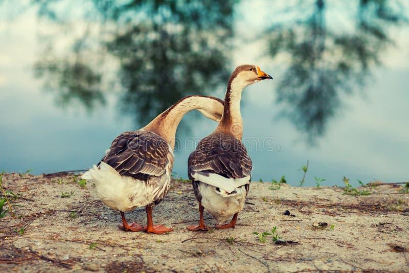 Dois gansos no lago foto de stock