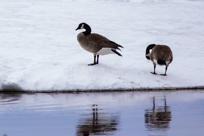 Dois gansos no lago Nipissing imagens de stock