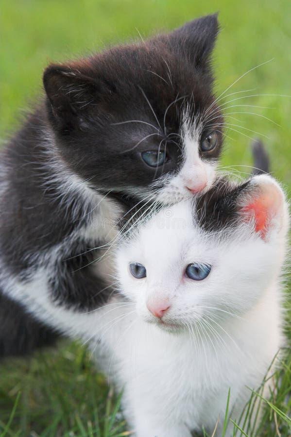 Dois gatinhos foto de stock royalty free