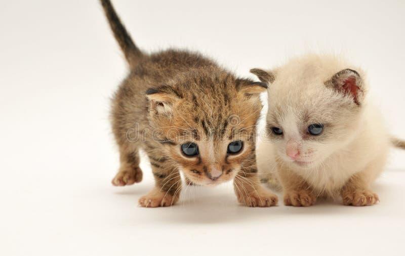 Dois gatinhos adoráveis fotografia de stock royalty free