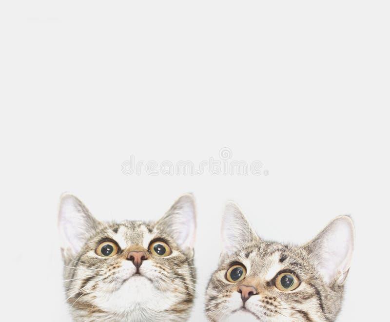 Dois gatinhos bonitos estão esperando para ser alimentados Caras do gato que olham acima imagem de stock
