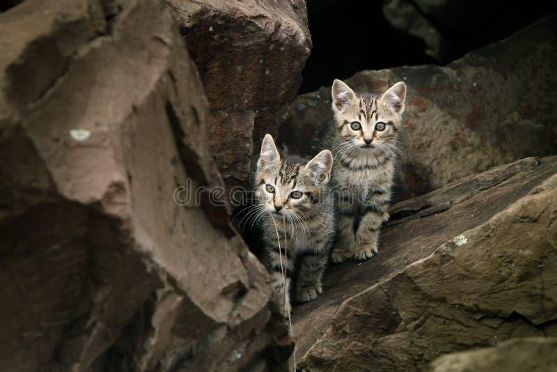 Dois gatinhos dispersos bonitos, selvagens pequenos. imagens de stock royalty free