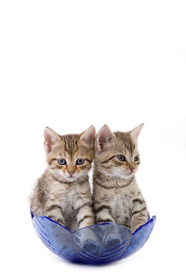 Dois gatinhos em uma bacia de vidro fotos de stock royalty free