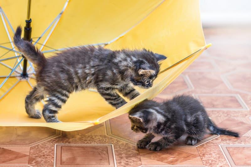 Dois gatinhos listrados pequenos são jogados em torno do guarda-chuva Um jogo foto de stock