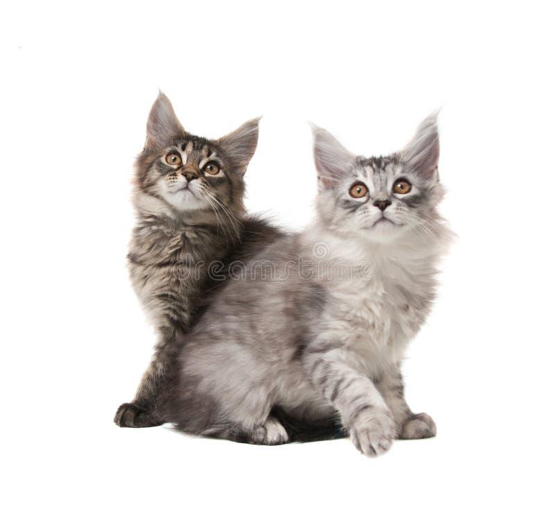 Dois gatinhos macios imagem de stock